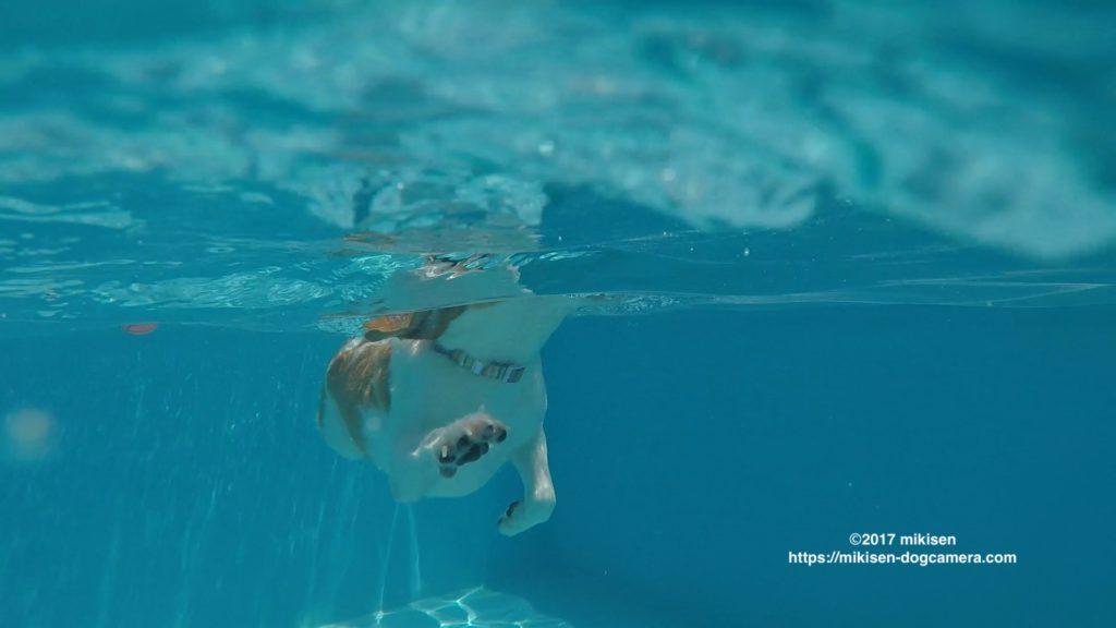 プールで泳ぐ犬