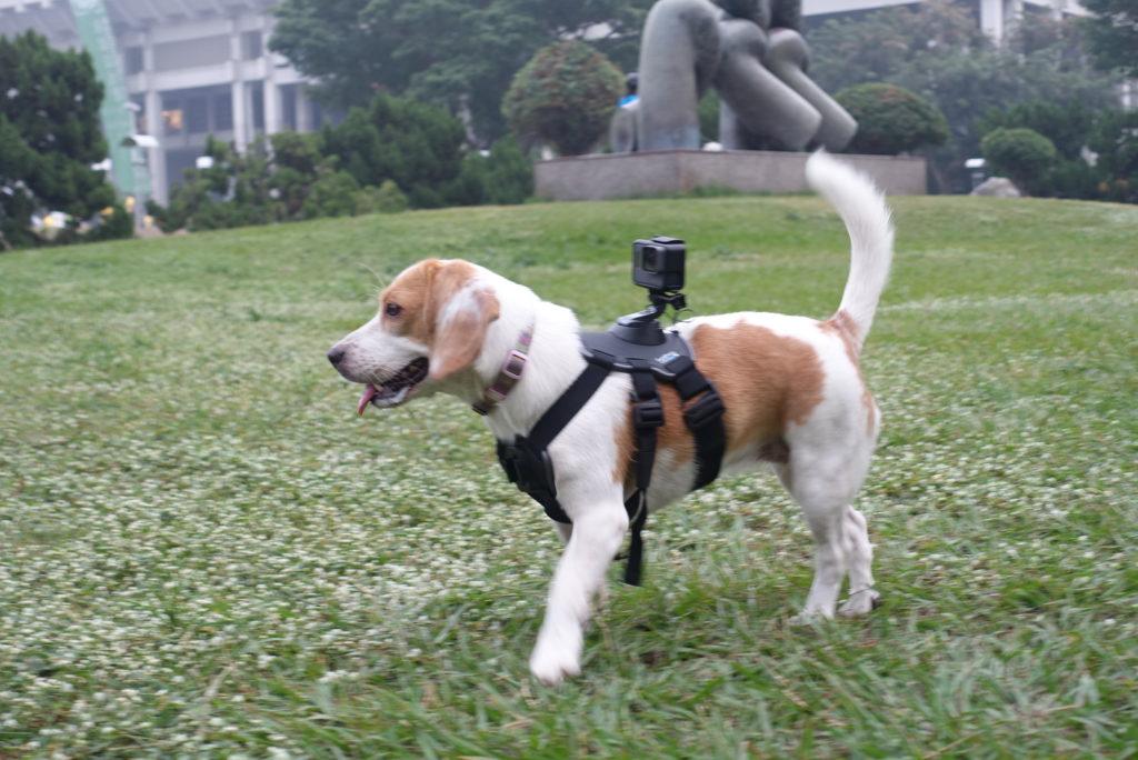 ハーネスをつけた犬の写真