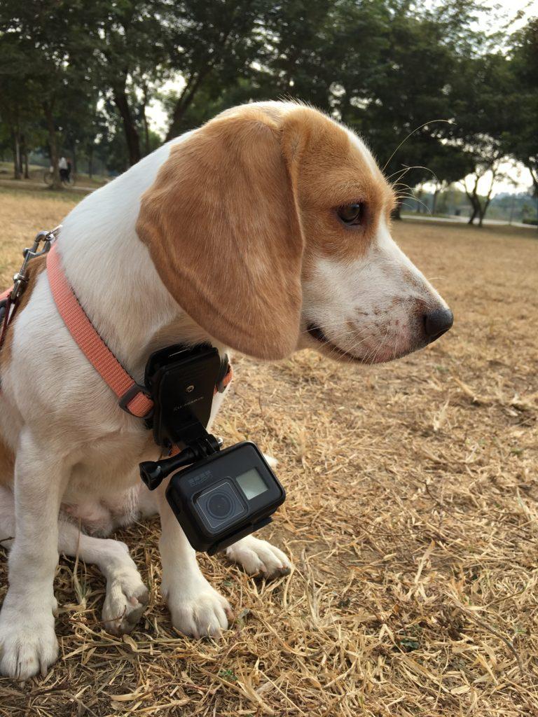 ハーネスにゴープロをつけた犬の写真