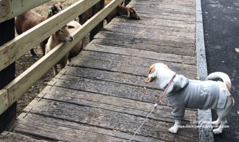 ヤギを見る犬