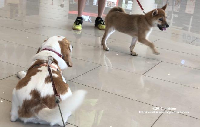 ビーグルと柴犬