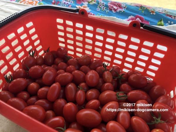 カゴいっぱいのトマト